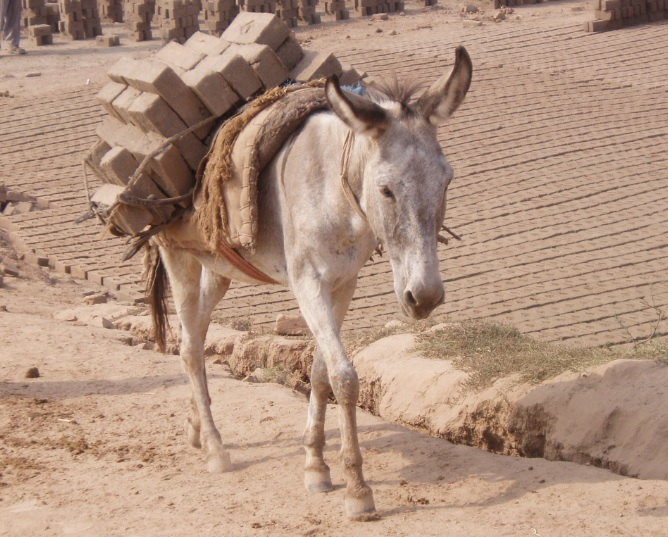 working donkey in brick kiln